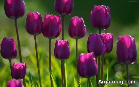 عکس های قشنگ گل لاله