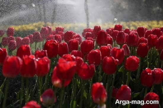 عکس متفاوت گل لاله