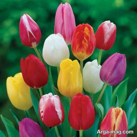 عکس منحصر به فرد گل لاله