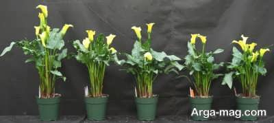 پرورش گل شیپوری