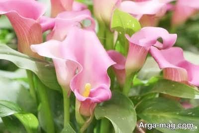 آشنایی با پرور گل شیپوری