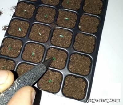 تکثیر شمعدانی از طریق بذر