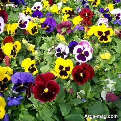 کاشت و پرورش گل بنفشه