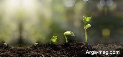 تکثیر رشد گل بنفشه