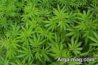 تنگی واژن با گیاه ماریانا