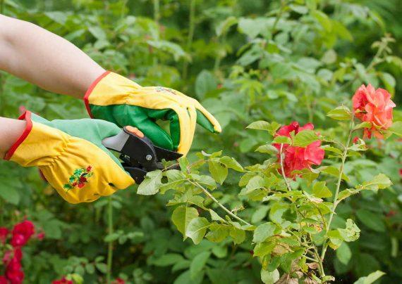 هرس كردن گل رز