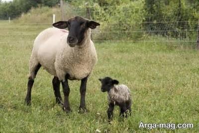 تعبیر خواب گوسفند