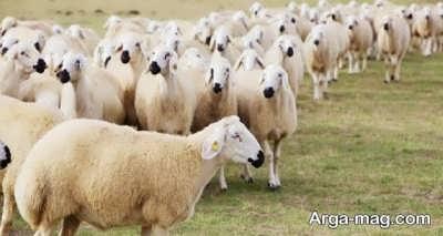 تعبیر مشاهده گوسفند در عالم رویا