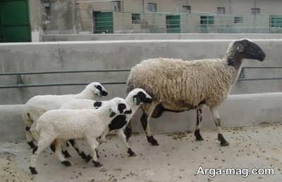 تعبیر دیدن گوسفند