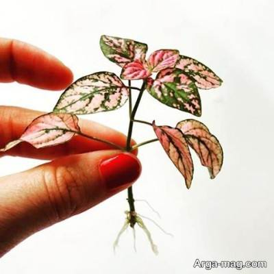 شرایط پرورش و نگهداری گل سنگ