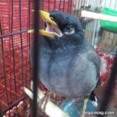 آموزش حرف زدن پرنده مینا