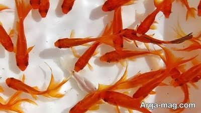 تعبیر مشاهده ماهی قرمز در رویا