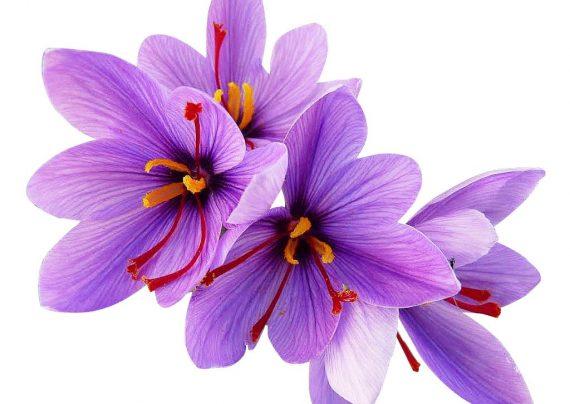 کاشت زعفران در گلدان و نحوه نگهداری آن