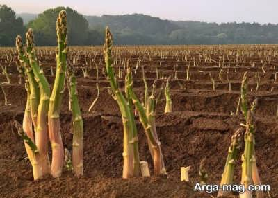گیاه معتدله مارچوبه