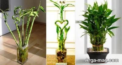 طریقه نگهداری از بامبو و نکاتی برای رشد و پرورش بهتر این گیاه