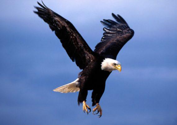 پرنده عقاب و آشنایی با گونه های مختلف آن