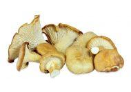 چگونگی پرورش قارچ صدفی
