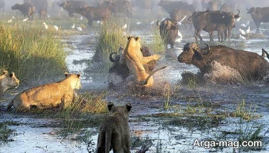 تصویر نبرد شیرهای گرسنه و بوفالوها برای زندگی