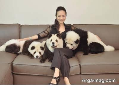 نگهداری سگ چاو چاو در خانه