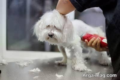 کوتاه کردن مو های سگ چاو چاو