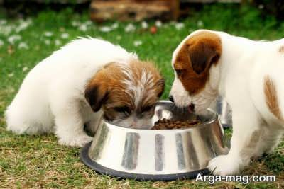 نیاز سگ چاو چاو به غذای با کیفیت