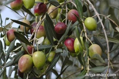 تکثیر درخت زیتون