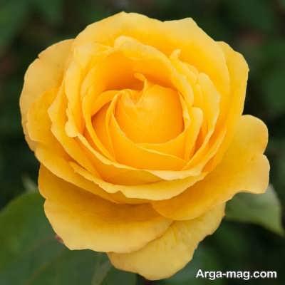 چگونگی پرورش دادن گل رز هلندی