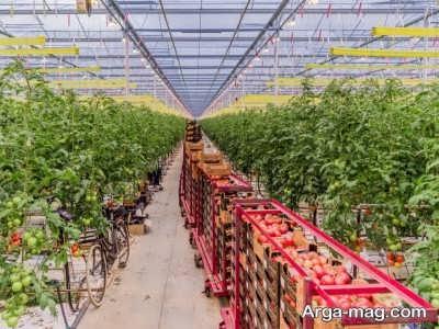 پرورش گل رز هلندی در گلخانه