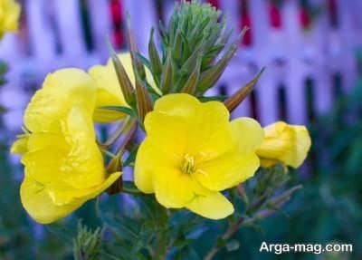 گل نسترن و تکثیر آن