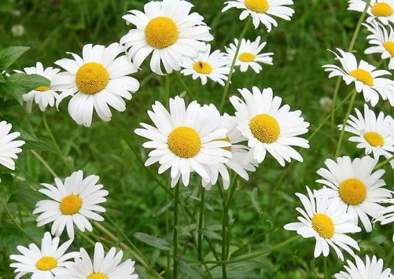 کاشت گل بابونه