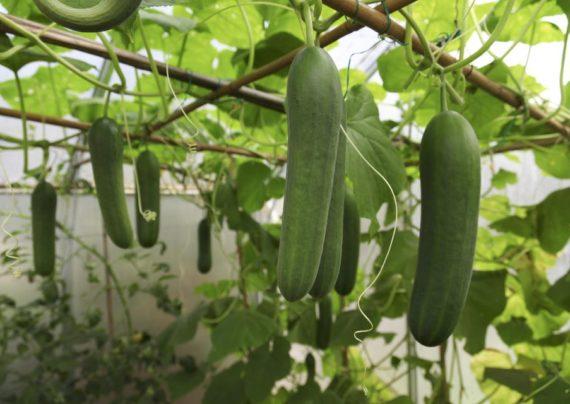 کاشت خیار گلخانه ای