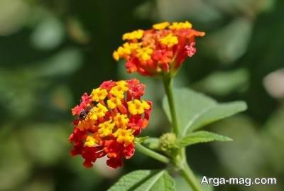 کاشت و پرورش گل شاه پسند