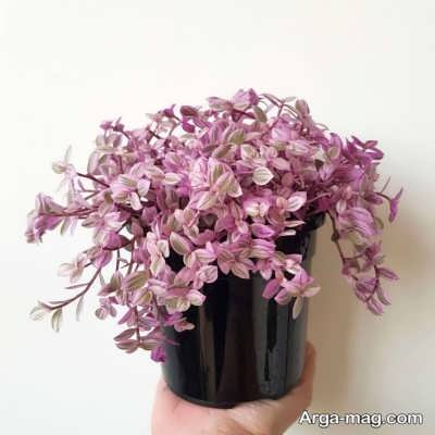 پرورش گل بیدی در منزل