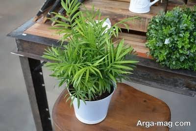 نگهداری نخل شامادورا و اصول پرورش این گیاه در منزل