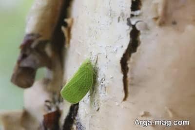 چگونگی از بین بردن آفت کاکتوس