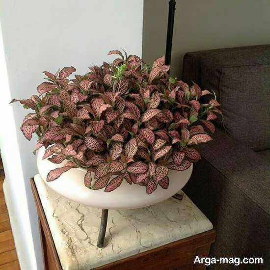 حفظ و نگهداری گیاه فیتونیا و روش های تکثیر این گل