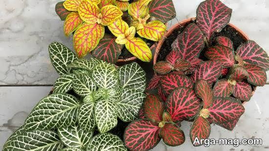 مراقبت و پرورش از گل فیتونیا گیاهی چند ساله و زیبا