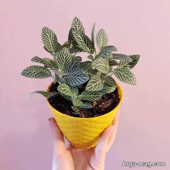 نگهداری و پرورش گیاه فیتونیا با گل های زرد و سفید