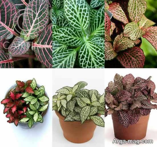 نگهداری گل فیتونیا و پرورش و تکثیر این گیاه