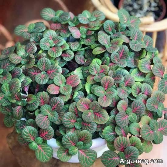 مراقبت و حفظ و پرورش گل فیتونیا با حفظ رطوبت