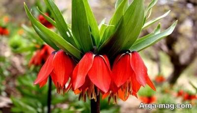 معرفی گیاه لاله واژگون