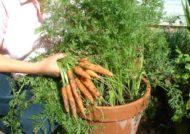 کاشت هویج