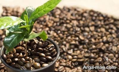 نیازهای رشدی گیاه قهوه