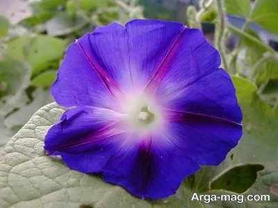 نور مورد نیاز برای رشد گل نیلوفر