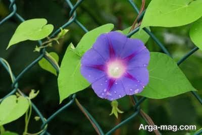 چگونگی آبیاری گیاه نیلوفر