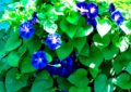 چگونگی پرورش و کاشت گل نیلوفر