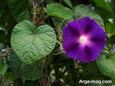 چگونگی پرورش گل نیلوفر