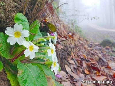 نکات مهم در مورد کاشت و پرورش گل پامچال