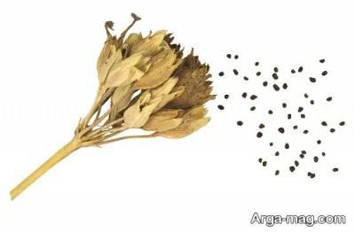 کاشت بذر گل پامچال