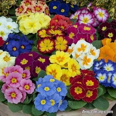 آشنایی با انواع کاشت و تکثیر گل پامچال